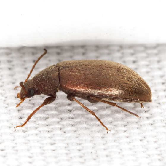 Darkling beetle size - photo#12