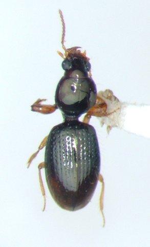 Dyschirius pilosus