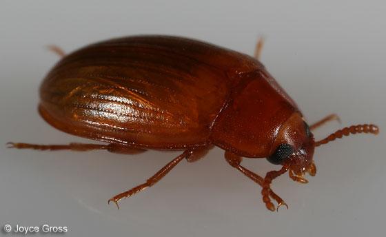 beetle - darker - Platydema