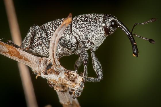 Weevil - Neoerethistes arizonicus