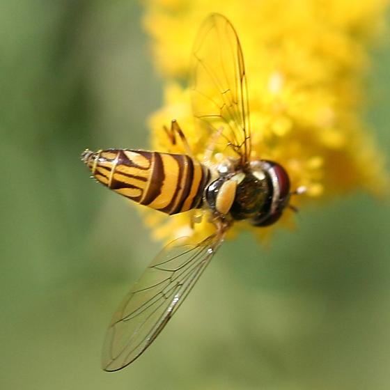 Small Syrphidae - Allograpta obliqua