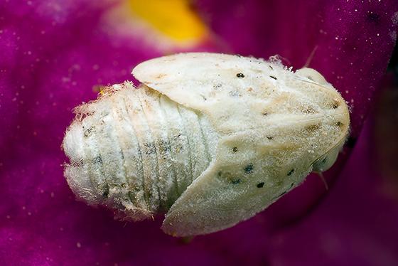 planthopper - Flatormenis
