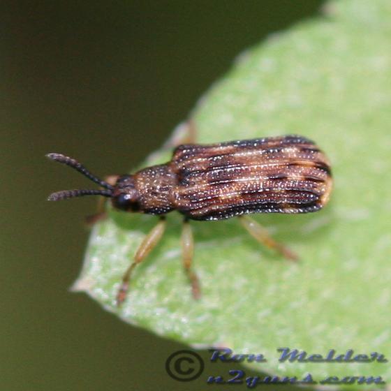 Leaf Beetle - Sumitrosis inaequalis