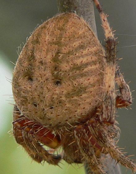 Neoscona crucifera - female