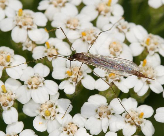 crane fly - Toxorhina magna - female