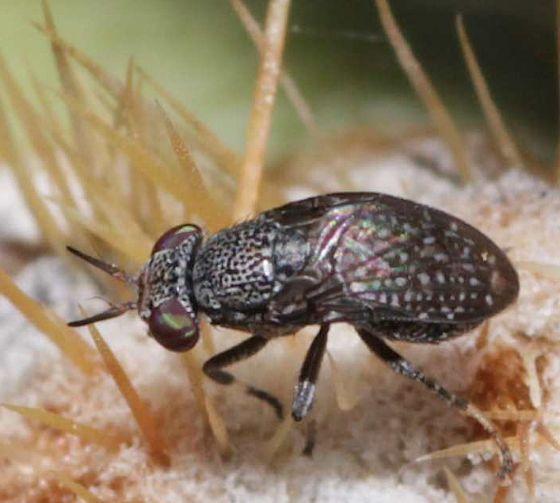 Small Bug - Stictomyia longicornis