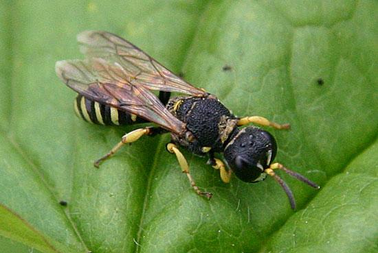 Crabronid Wasp - Lestica