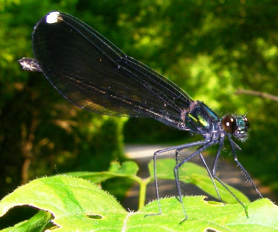 Ebony Jewelwing - Calopteryx maculata - female