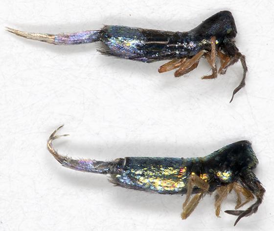 Elongate-bodied Springtails - Lepidocyrtus paradoxus