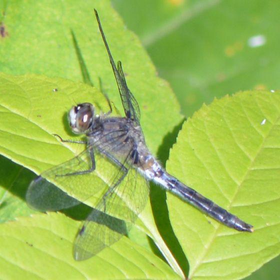 Bluish Dragonfly - Leucorrhinia proxima