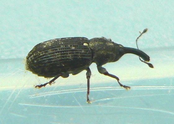 Weevil - Magdalis barbita