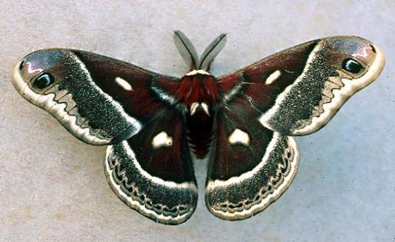 Columbia Silkmoth - Hyalophora columbia - male