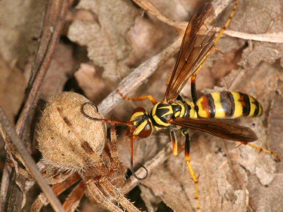 Spider and wasp - Poecilopompilus interruptus - female