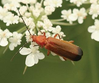 Red Insect - Rhagonycha fulva