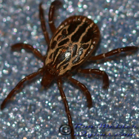 Tick - Amblyomma maculatum