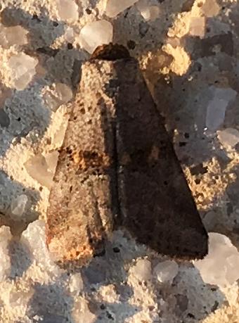 Yellow-spotted Graylet Moth - Hyperstrotia flaviguttata