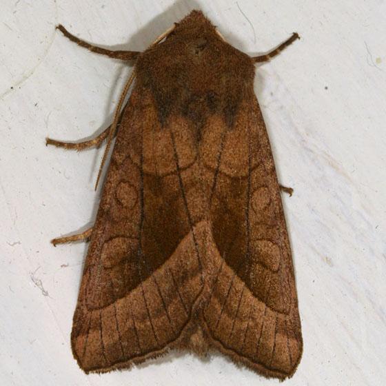 Noctuid IMG_3879 - Hydraecia micacea