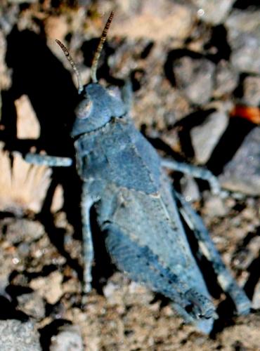 Help me identify this grasshopper? - Dissosteira carolina