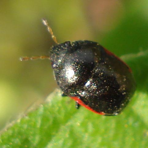 tiny bug - Corimelaena