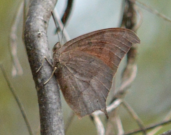 Tropical or Goatweed Leafwing? - Anaea andria