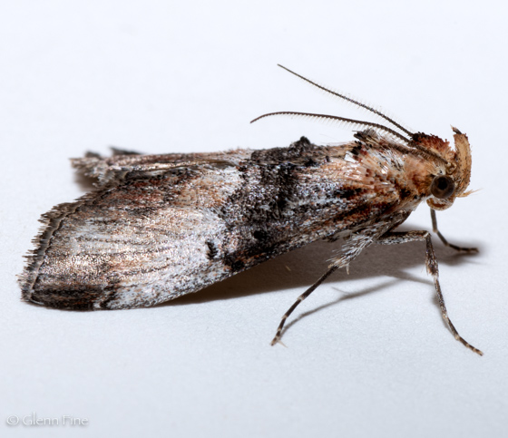 Toripalpus trabalis - male