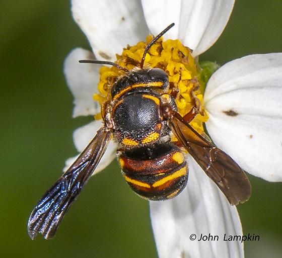 Anthidiellum perplexum - Perplexing Rotund-Resin Bee - Anthidiellum perplexum