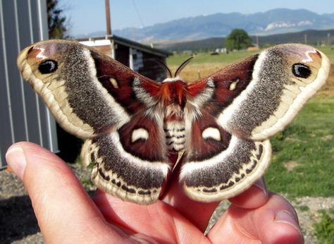Glover's Moth - Hyalophora columbia - female