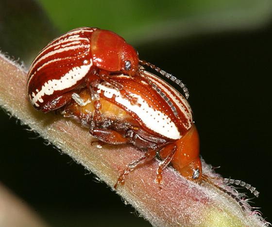 Leaf Beetles mating - Blepharida rhois