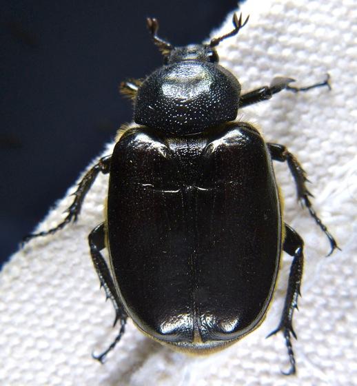 unknown beetle - Osmoderma eremicola