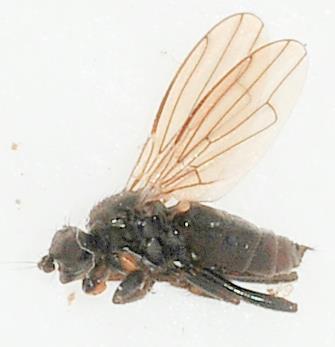 Acalyptratae