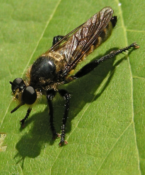 Robber Fly - Laphria ventralis - male