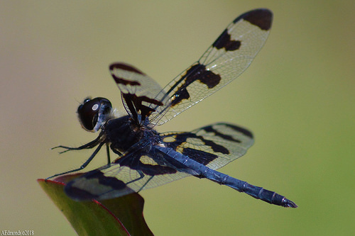 Celithemis fasciata - male