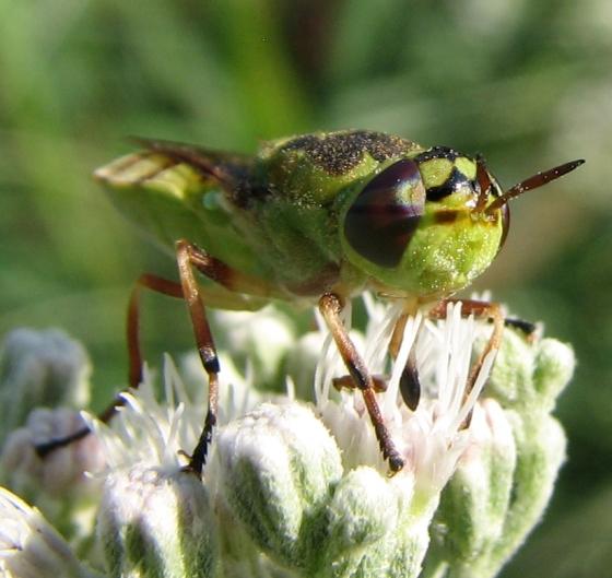 soldier fly - Hedriodiscus binotatus - female