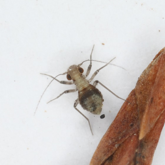 Bertkauia crosbyana - female