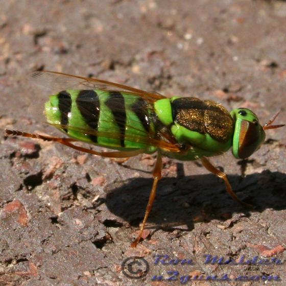 Soldier Fly - Odontomyia cincta - Odontomyia cincta
