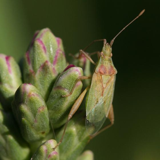 Leaf footed bug? - Harmostes reflexulus