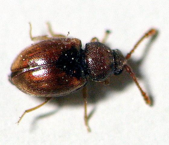 Tiny Beetle - Atomaria