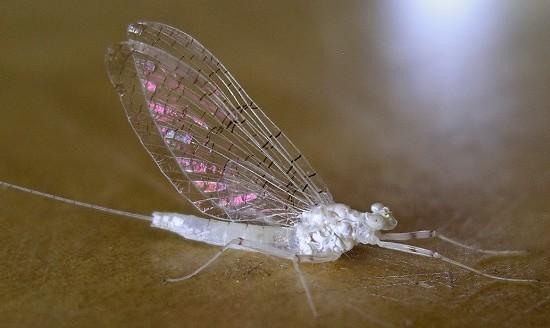 white mayfly - Maccaffertium terminatum