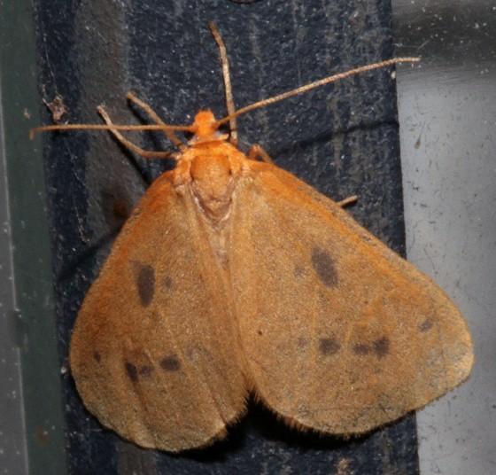 Eubaphe meridiana - Hodges#7441-Little Beggar Moth- Hodges#7441-id confirmation requested - Eubaphe meridiana