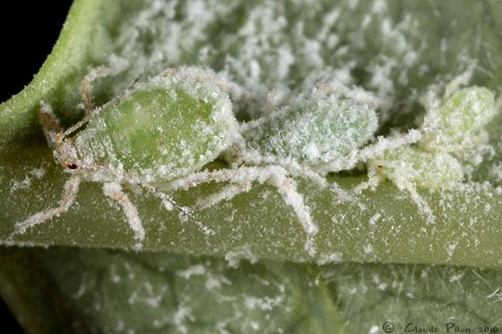 Gypsoaphis oestlundi