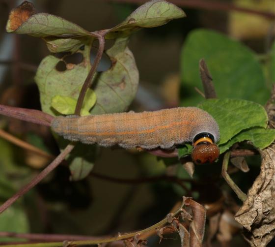 Chiodes albofasciatus browsing on Rhynchosia minima - Chioides albofasciatus
