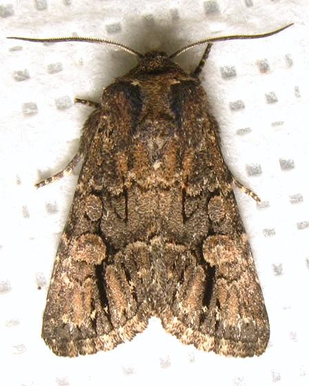 Hexorthodes serrata - Hodges #10592 - Hexorthodes serrata