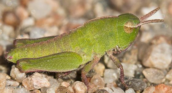 Northern green-striped grasshopper nymph - Chortophaga viridifasciata