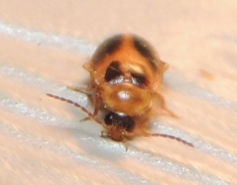 Beautiful Marsh beetle - Sacodes pulchella