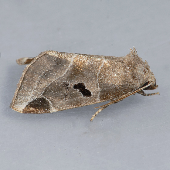 9754 Black-barred Brown  - Plagiomimicus pityochromus
