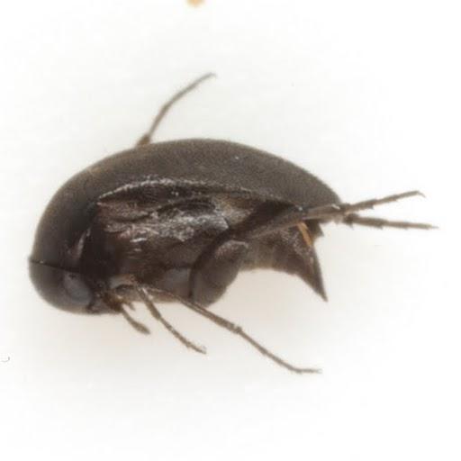 Isotrilophus erraticus (Smith) - Isotrilophus erraticus