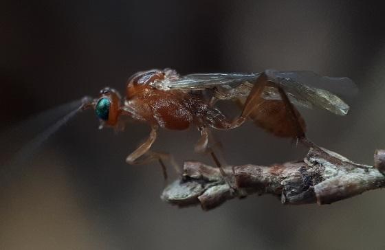 Green Eyed Wasp - Meteorus