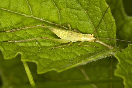 Tree Cricket - Oecanthus
