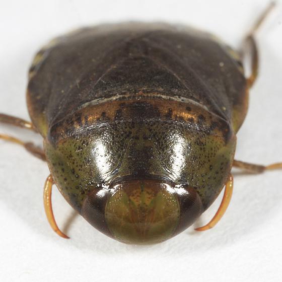 P. femoratus? - Pelocoris femoratus