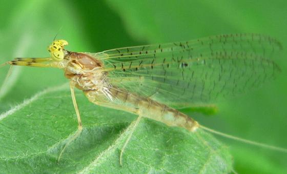 Stream Mayfly - Stenacron interpunctatum - female